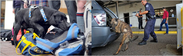 Dogs for Explosives and Drug Detection